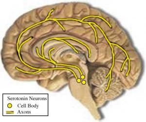 serotoninonthebrain